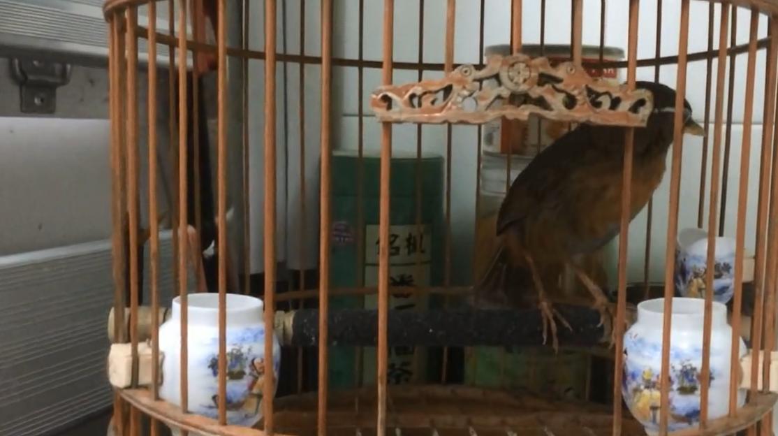 """第一次见到养了15年的画眉鸟,这只鸟堪称画眉鸟中的""""百岁老人"""""""