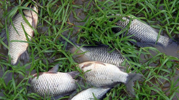 大鲫鱼沿着小溪逆流而上不幸搁浅,任由人捉,但人家不捉!