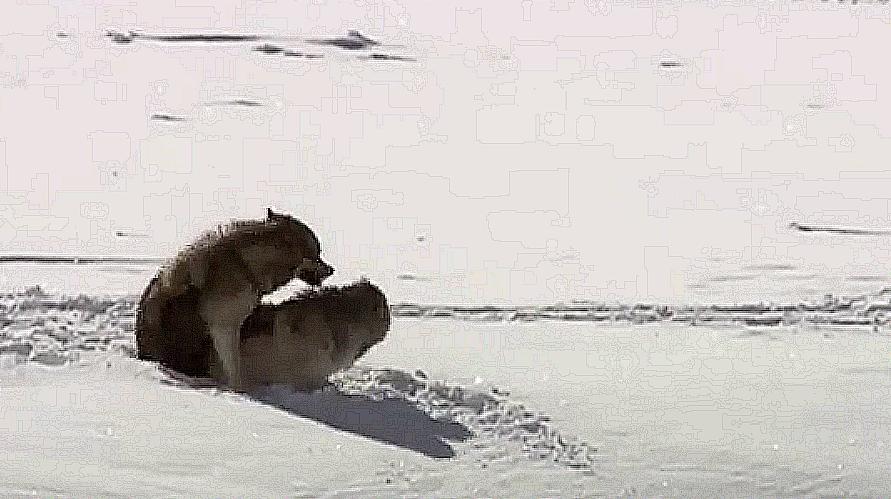 母狼發情偷偷與公狼交配,到了無法分開的時候意外卻發生了!